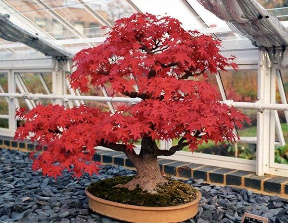 Bloodgood Japanese Maple 15 Fresh Seeds Bonsai Shade Tree Specimen Tree