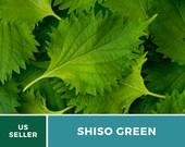Shiso Green - 200 Seeds - Asian Culinary Herb - Non GMO (Perilla frutescens)
