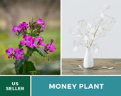 Money Plant - Annual Honesty - 20 Seeds - Sow Spring or Fall - Amazing Fragrant Flower Natural Air Purifier - GMO Free (Lunaria biennis)