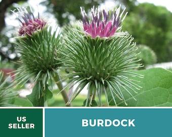 Burdock - 100 Seeds - Medicinal - GMO Free (Arctium Lappa)