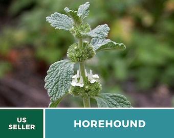 Horehound - 50 Seeds - Medicinal Herb - GMO Free (Marrubium Vulgare)