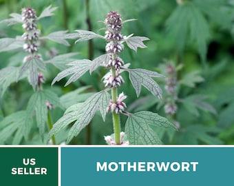 Motherwort (Organic) - Heirloom Medicinal Herb Seeds