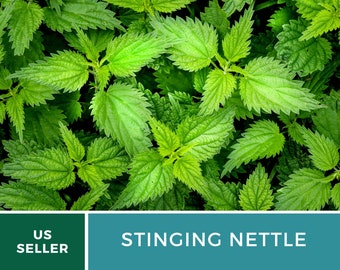 Stinging Nettle - 100 Seeds - Culinary& Medicinal Herb - GMO Free (Urtica Dioica)