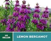 Bee Balm, Lemon Bergamot - Heirloom Seeds - Culinary Medicinal Herb (Monarda Citriodora)