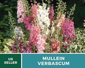 Verbascum Mix - Purple Mullein - Heirloom Seeds - Medicinal Herb Seeds - Non-GMO (Verbascum Phoenicium)
