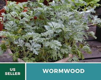 Wormwood - Heirloom Seed - Medicinal Herb & Herbal Tea(Artemisia Absinthium)