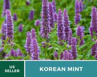 Korean Mint - 50 Seeds - Medicinal Herb - GMO Free (Agastache Rugosa)