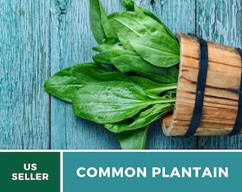 Plantain, Common - 100 Seeds -  Culinary & Medicinal Herb (Plantago Major Rosularis)