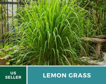 Lemon Grass - 100 Seeds - Culinary & Medicinal Herb (Cymbopogon Flexuosus)