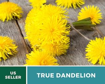 Dandelion, True - Heirloom Seeds - Culinary Herb - GMO Free (Taraxacum Officinale)