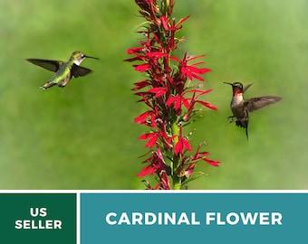 Lobelia, Cardinal Flower - 250 Seeds - Hummingbird Friendly - NonGMO (Lobelia cardinalis)