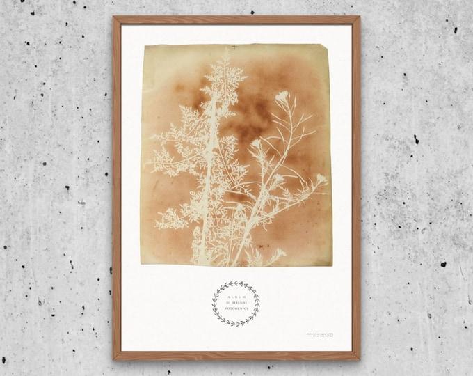 Sisymbrium Cumingianum Art Print | Wildflowers Print | Botanical ephemera | Photography Pioneer | Botanical book | Vintage floral poster