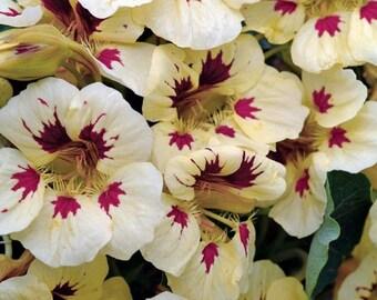 Kapuzinerkresse 80 Samen Tom Daumen Kaiserin von Indien Blumen
