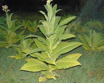 Golden burley Tobacco 2000+ seeds