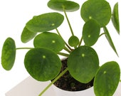 Chinese Money Plant, Pilea Peperomioides, Rounded Green Semi Succulent Leaves, Live Indoor Plant, Ships in 4 quot Nursery Pot