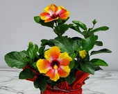 Fiesta Bush Hibiscus Plant Live - Flowering Plant - Overall Height 16 quot to 18 quot - 1 Gallon Pot - Tropical Plants of Florida