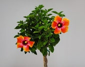 Live Hibiscus Tree Braided Fiesta - Overall Height 40 quot to 48 quot - 3 Gallon Pot - Tropical Plants of Florida