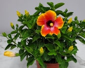 Live Hibiscus Plant Bush Fiesta - Overall Height 16 quot to 22 quot - 3 Gallon Pot - Tropical Plant