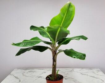 Cavendish Banana Tree Plant Live Overall Height 28 to 38-3 Gallon Pot Tropical Plants of Florida Great Tasting Bananas