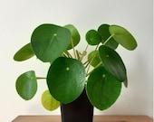 Pilea Peperomioides plants (5-15cm) Chinese Money Plant, house plant.