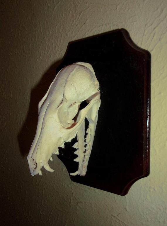 TAXIDERMY Fox skull mount