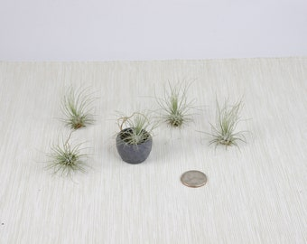 Air Plant - Small Tillandsia Fuchsii var. Gracilis