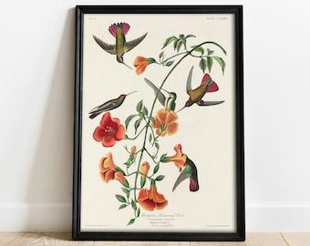Hummingbird Print, Antique Bird Painting, Vintage Drawing Poster Wall Art Decor, Mango Hummingbird, birds print vintage, bird print | COO383