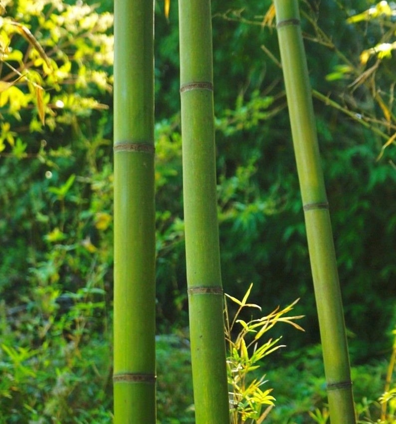 5PACK /'Madake/' Giant Japanese Timber Running Bamboo Rhizome LARGE PRIVACY SCREEN Big bamboo