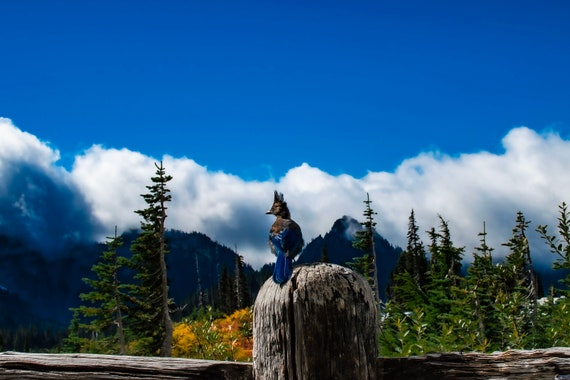 Stellers Jay in Paradise