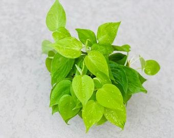 """Philodendron Cordatum Heart Leaf Lemon Lime - Cordatum Hederacem - Philodendon spp. 4"""" pot"""
