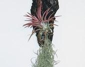 Tillandsia 8 quot Driftwood wall feature with trailing Spanish moss 1 x Lonantha Rubra Red as shown in the photo.