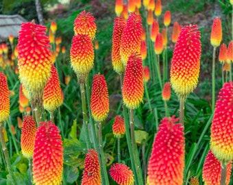 Kniphofia Mixed Uvaria Tritoma Red Hot Poker Seeds