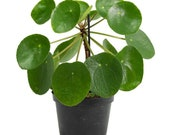 Peperomioides quot Chinese Money Plant quot Starter Plant (ALL STARTER PLANTS require you to purchase 2 plants )
