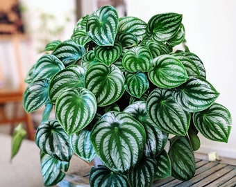 Peperomia Watermelon Starter Plant (ALL STARTER PLANTS require you to purchase 2 plants!)