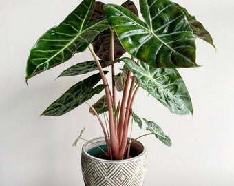Alocasia Pink dragon Starter Plant (ALL STARTER PLANTS require you to purchase 2 plants!)