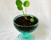 Pilea peperomioides, Chinese Money Plant, one of a kind plant Gift, vintage plant, plant pot