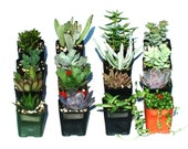 6 Potted Succulent Plants - 2 Inch Potted Live Succulent Plants