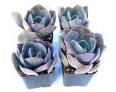 Potted Succulent Plant - 2 inch Potted Dusty Rose Echeveria