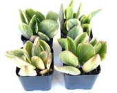 Potted Succulent Plant - 2 inch Potted Variegated Crassula Ovata - Variegated Jade Plant