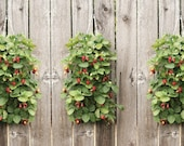 6 Strawberry Bare Roots Vertical Hanging Planter Kit Perfect for All Gardeners, Beginner Friendly Grow Fruit Outside, Great Gift Tasty