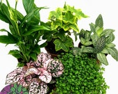 Mix of 5 Terrarium Plants Typically Includes Fittonia, Hypoestes, Ivy, Moss, Peace Lily Random Mix