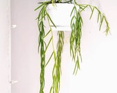 Hoya linearis Hanging Succulent