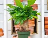 Stump Money Tree, Pachira, Thick Money Tree, 4 Live Potted Plant