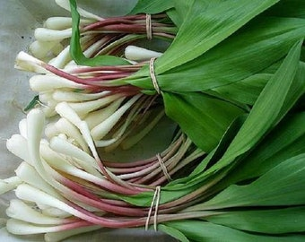 50pcs Ramps Seeds Ramson Bears Wild Garlic Seed Wild Leek Allium Tricoccum