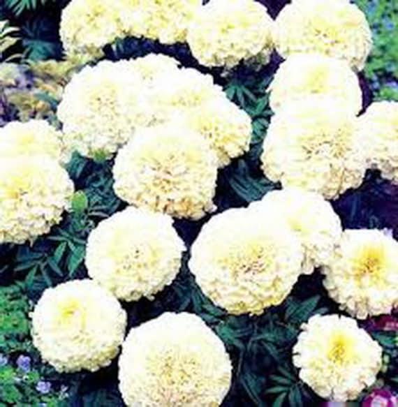 30   Rare White Large Marigold Flower Seeds Alaska Organic Annual