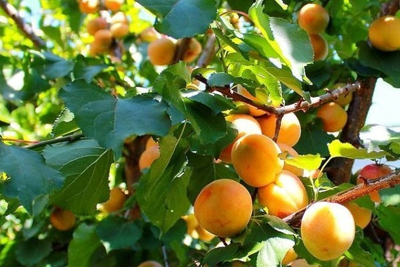 The most frost-resistant apricot in the world Manchurian apricot 5 seeds.