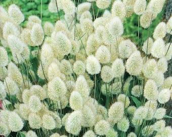 Lagurus Ovatus Flower Seeds from Ukraine