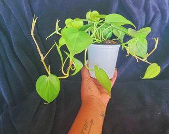 """4"""" BounceBack Heartleaf Philodendron"""