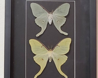 Wings Spread Gifts, Home Decor Insect Taxidermy Actias Luna moth One Real Mounted Green Moth Luna in Riker Mount Framed Luna