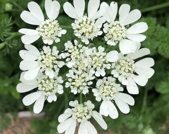 Orlaya, SEEDS, White Lace Flowers